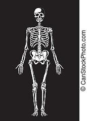 humano, anatomy., esqueleto