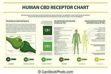humano, cbd, infographic, horizontal, receptor, gráfico