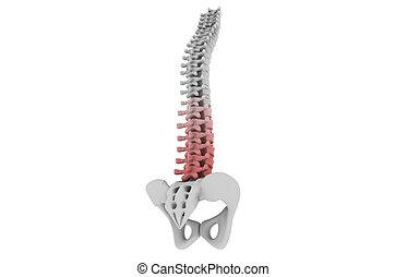 humano, columna espinal
