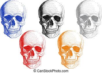 humano, cráneos, vector, conjunto