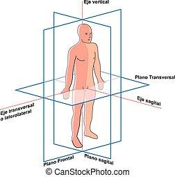humano, cuerpo, y, planos, del, ejes