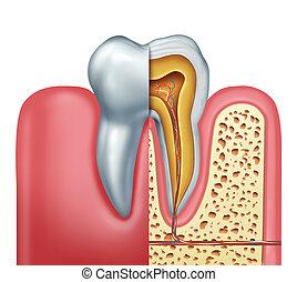 humano, diente, anatomía, concepto