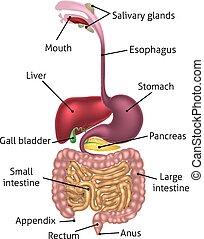 humano, digestivo, tracto, sistema