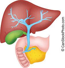 humano, hígado, anatomía