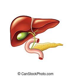 humano, hígado, vesícula biliar, páncreas, anatomía, vector