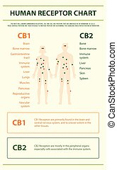 humano, infographic, gráfico, receptor, vertical