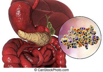 humano, páncreas, anatomía