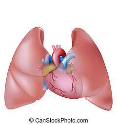 humano, pulmones, y, corazón