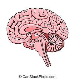 humano, sección, cerebro, vector, esquemático, estructura
