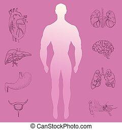 humano, silueta, y, mano, dibujado, órganos
