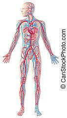 humano, sistema circulatorio, figura repleta, cutaway, anatomía, ilustración, con, ruta de recorte, included.