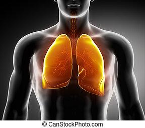 humano, sistema respiratorio, con, pulmones, y, bronquial,...