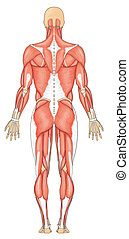 humano, trasero, músculos