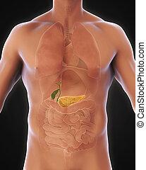 humano, vesícula biliar, y, páncreas