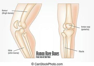 humano, vista, lado, frente, huesos, rodilla, anatomía