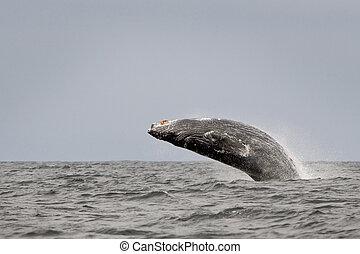 Humback whale (Megaptera novaeangliae