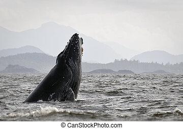 Humback whale (Megaptera novaeangliae) breaching. - Humpback...