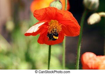 humblebee, fleur, &