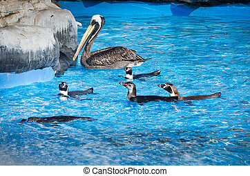 Humbold Penguins and pelican at water. Zoo in Lima. Peru