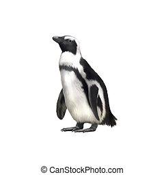 Humboldt, Magellanic species of penguin. isolated on white...