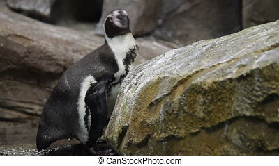 Humboldt penguin in the aviary - Humboldt penguin among the...