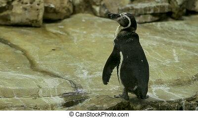 Humboldt Penguin Peruvian Penguin Spheniscus humboldti...