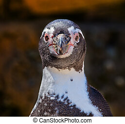 Humboldt Penguin Speniscus Humbolti Face Looking at You