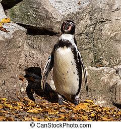 Humboldt Penguin, Spheniscus humboldti in the zoo