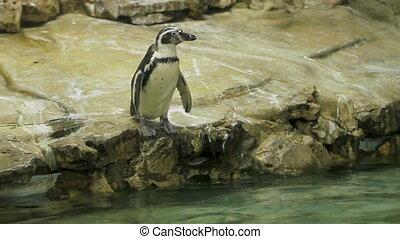 Humboldt Penguin(Peruvian Penguin) (Spheniscus humboldti)...