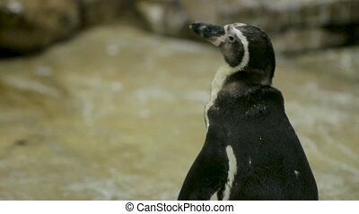 Humboldt Penguin(Peruvian Penguin) (Spheniscus humboldti)