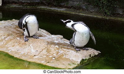 humboldt, Pinguin