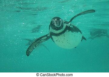 humbolt penguin swimming (Spheniscus humboldti) - Humboldt...