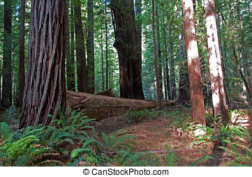 humbolt, redwood, parque estado