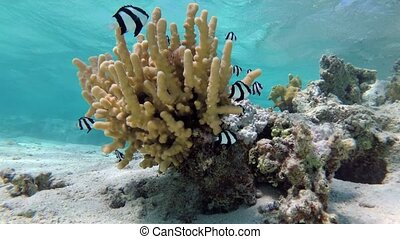 Humbug damsel Dascyllus aruanus in a coral in shallow water - sideways