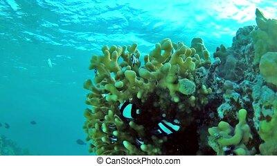 Humbug damsel Dascyllus aruanus in a stone coral in shallow water - sideways