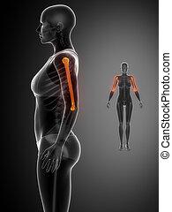 humerus, x--ray, pretas, varredura osso
