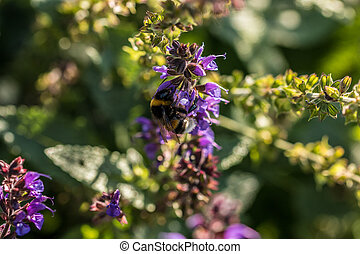 hummel, auf, violette blume, auf, der, grünes feld, von,...