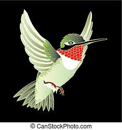 Hummer - hummingbird, ruby-throated, on black