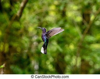 Humminbird in the Cloud forest of Monteverde, Costa Rica