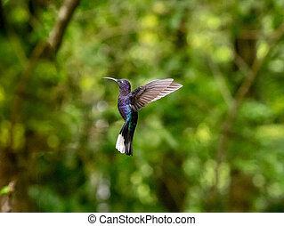humminbird, in, monteverde
