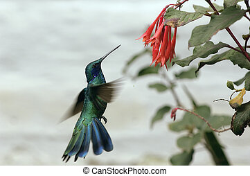 Humming Bird - A colibri photographed at the amazon region ...