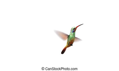 Humming bird, beautiful 3d animation with an alpha-channel