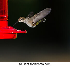 Humming bird getting ready to drink