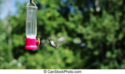 Humming bird (hummingbird)