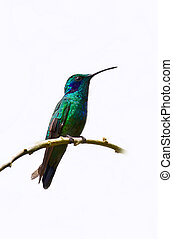 Humming bird on white - A blue and green hummingbird sits on...