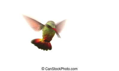 Humming bird on white background, 3d animation. set your own...