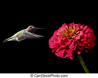 Hummingbird on black background with pink flower