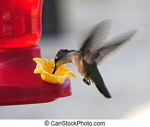 humming, pássaro