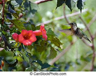 hummingbird, (2)