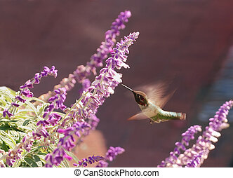 Hummingbird - a hummingbird hovers in the front of a flower
